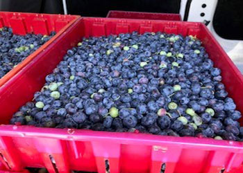 Food pantries welcome fresh blueberry donation during COVID pandemic